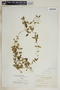 Metastelma bahamense Griseb., Bahamas, N. L. Britton 2185, F