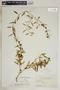 Metastelma bahamense Griseb., Bahamas, N. L. Britton 2775, F