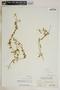 Metastelma bahamense Griseb., Bahamas, N. L. Britton 6292, F