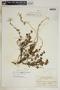 Metastelma bahamense Griseb., Bahamas, L. J. K. Brace 4143, F