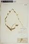 Metastelma inaguense Vail, Bahamas, J. T. Rothrock 387, F