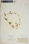 Metastelma inaguense Vail, Bahamas, J. T. Rothrock 388, F