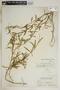 Metastelma inaguense Vail, Bahamas, N. L. Britton 5994, F