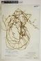 Metastelma inaguense Vail, Turks & Caicos, C. F. Millspaugh 9115, F