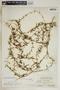 Metastelma inaguense Vail, Turks & Caicos, C. F. Millspaugh 9034, F