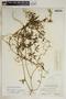 Metastelma inaguense Vail, Turks & Caicos, C. F. Millspaugh 9291, F