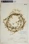 Metastelma inaguense Vail, Bahamas, P. Wilson 7683, F