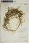 Metastelma inaguense Vail, Turks & Caicos, P. Wilson 7664, F