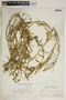 Metastelma inaguense Vail, Bahamas, P. Wilson 7260, F