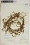 Metastelma inaguense Vail, Bahamas, P. Wilson 7786, F