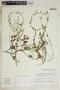 Metastelma inaguense Vail, Turks & Caicos, R. McBride 87M204, F