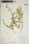 Metastelma inaguense Vail, Bahamas, D. S. Correll 47649, F