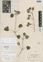Stachys rotundifolia image