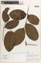 Protium Burm. f., Peru, A. H. Gentry 25196, F