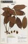 Protium Burm. f., Peru, A. H. Gentry 28931, F