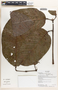 Protium Burm. f., Ecuador, K. Romoleroux 2817, F