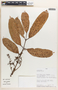 Protium Burm. f., Peru, D. N. Smith 2809, F