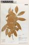 Protium Burm. f., Ecuador, A. H. Gentry 72775, F