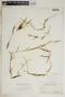 Pattalias palustris (Pursh) Fishbein, Bahamas, N. L. Britton 5909, F