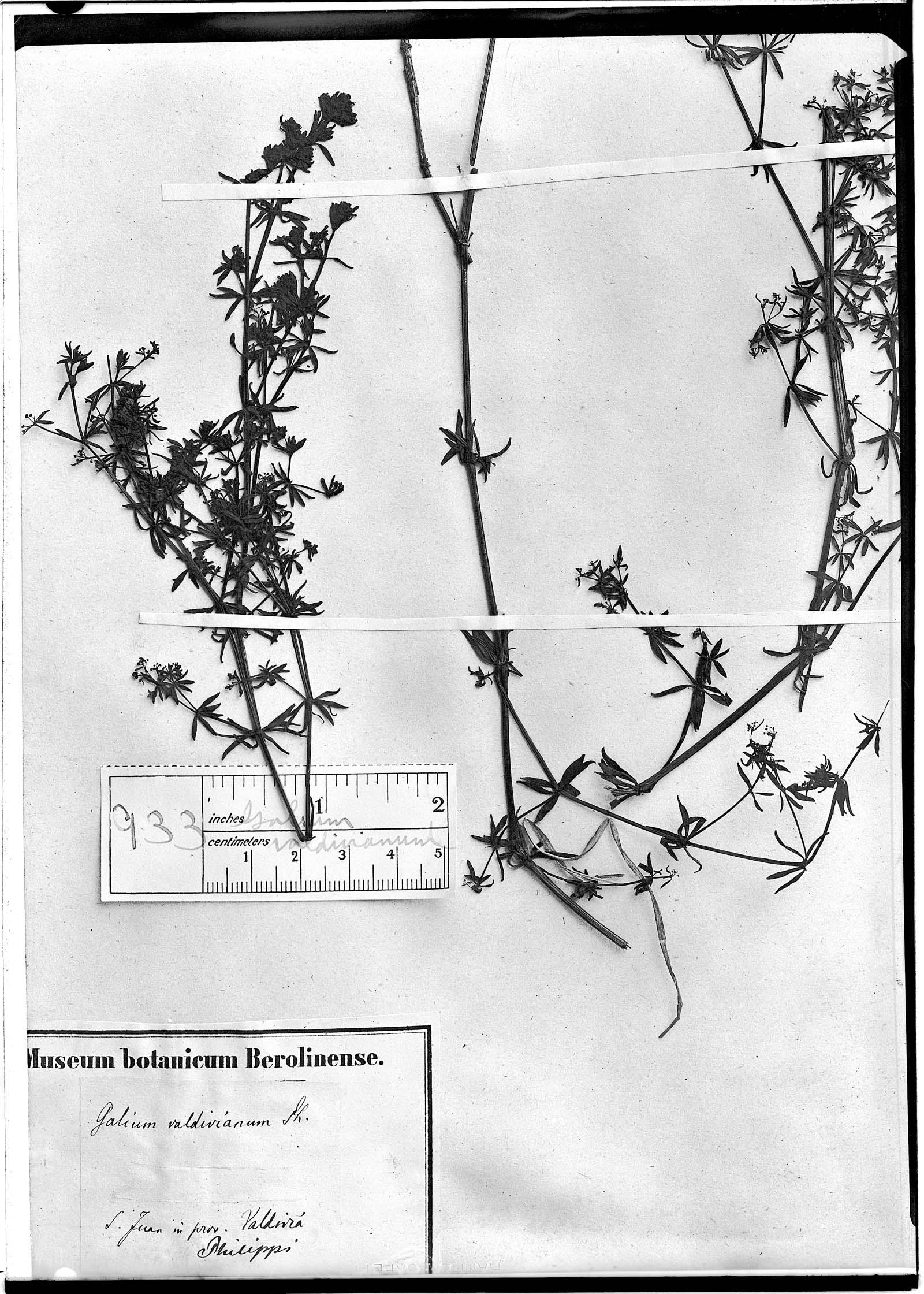 Galium valdivianum image
