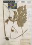 Begonia octopetala image