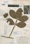 Paullinia alata var. pubens J. F. Macbr., PERU, H. E. Stork 9564, Holotype, F