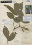 Paullinia rugosa var. peruviana J. F. Macbr., PERU, E. P. Killip 27947, Holotype, F