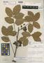 Paullinia tumbesensis D. R. Simpson, PERU, D. R. Simpson 407, Holotype, F