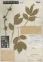 Paullinia hemiptera D. R. Simpson, PERU, Ll. Williams 6517, Holotype, F