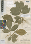 Allophylus semidentatus var. pilosus J. F. Macbr., PERU, G. Klug 3783, Holotype, F
