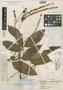Paullinia josecuatrii J. F. Macbr., PERU, F. Woytkowski 34446, Holotype, F