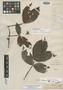 Paullinia rhizantha Poepp. & Endl., PERU, E. F. Poeppig s.n., Possible type, F
