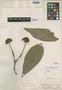 Aegiphila cuneata Moldenke, PERU, E. P. Killip 28386, Isotype, F