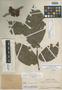 Paullinia alata var. loretana J. F. Macbr., PERU, Ll. Williams 2339, Holotype, F