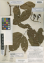 Paullinia obovata var. polymorpha D. R. Simpson, PERU, J. Schunke Vigo 4580, Holotype, F