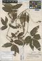 Paullinia mexiae Steyerm., MEXICO, Y. Mexia 8855, Holotype, F