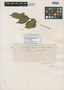 Paullinia verecunda Standl., PANAMA, P. H. Allen 1224, Isotype, F