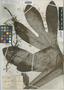 Roupala rousselii Vieill., New Caledonia, E. Vieillard 2153, Isotype, F