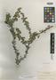 Ribes glanduliferum image