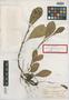 Peperomia spathulata Britton & Millsp., Bahamas, L. J. K. Brace 1876, Isolectotype, F