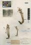 Rhyncholacis palmettifolia var. rosea P. Royen, BRITISH GUIANA [Guyana], A. C. Smith 2101, Isotype, F