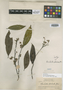 Barnhartia floribunda Gleason, BRITISH GUIANA [Guyana], J. S. de la Cruz 2852, Isotype, F