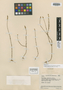 Polygala appressa var. kavarayena Steyerm., VENEZUELA, J. A. Steyermark 59350, Holotype, F