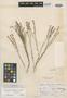Polygala boliviensis A. W. Benn., BOLIVIA, G. Mandon 838, Isotype, F