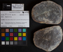 PP 10095 [HS, M] Calamites, Moscovian / Desmoinesian, Francis Creek Shale Member, United States of America, Illinois, Will, Mazon Creek Region