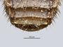 3982416 Orphnebius (Thoracobius) brevicollis, type, abdomen, dorsal view