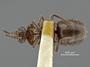 3982416 Orphnebius (Thoracobius) brevicollis, type, habitus, ventral view