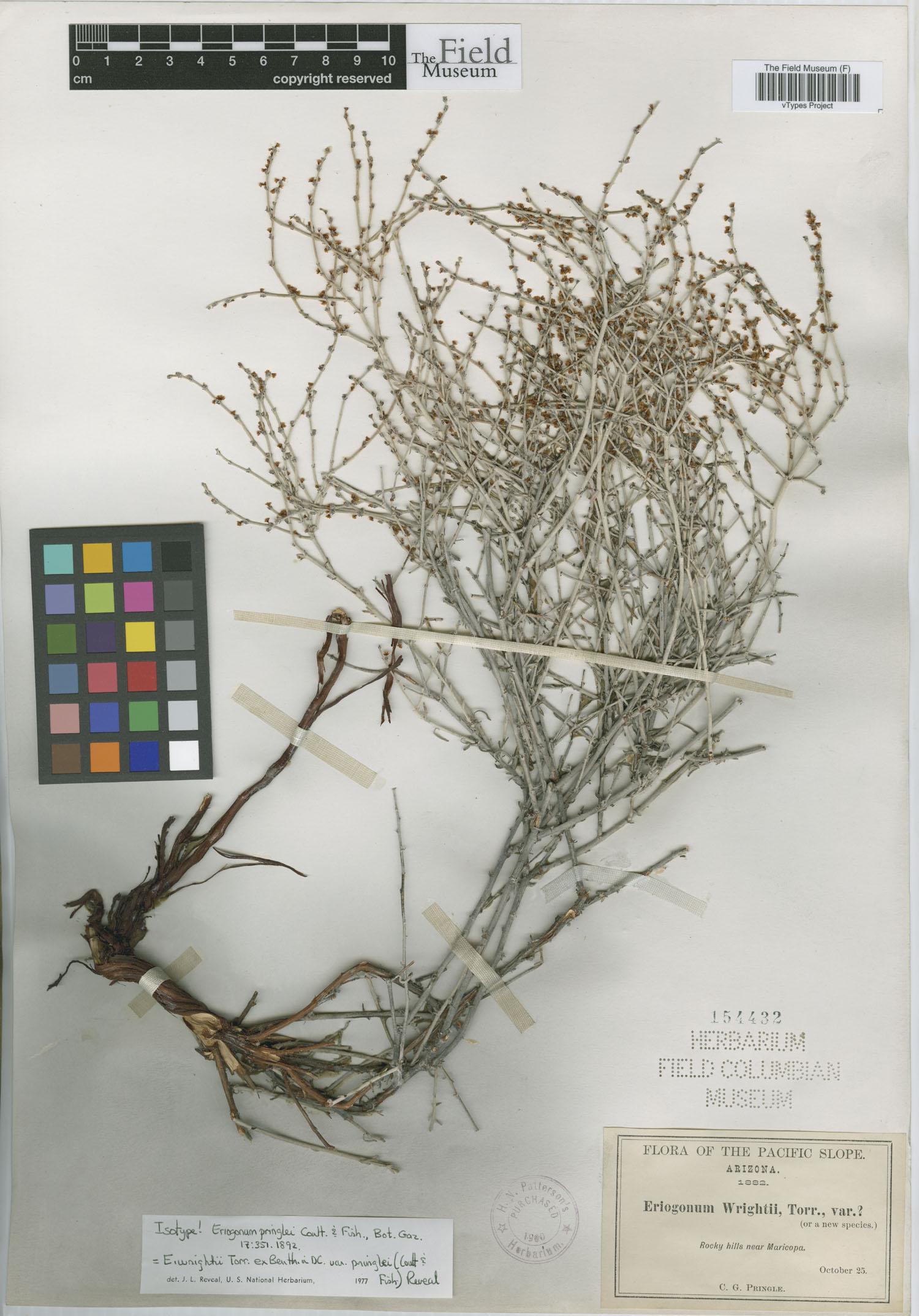 Eriogonum wrightii var. pringlei image
