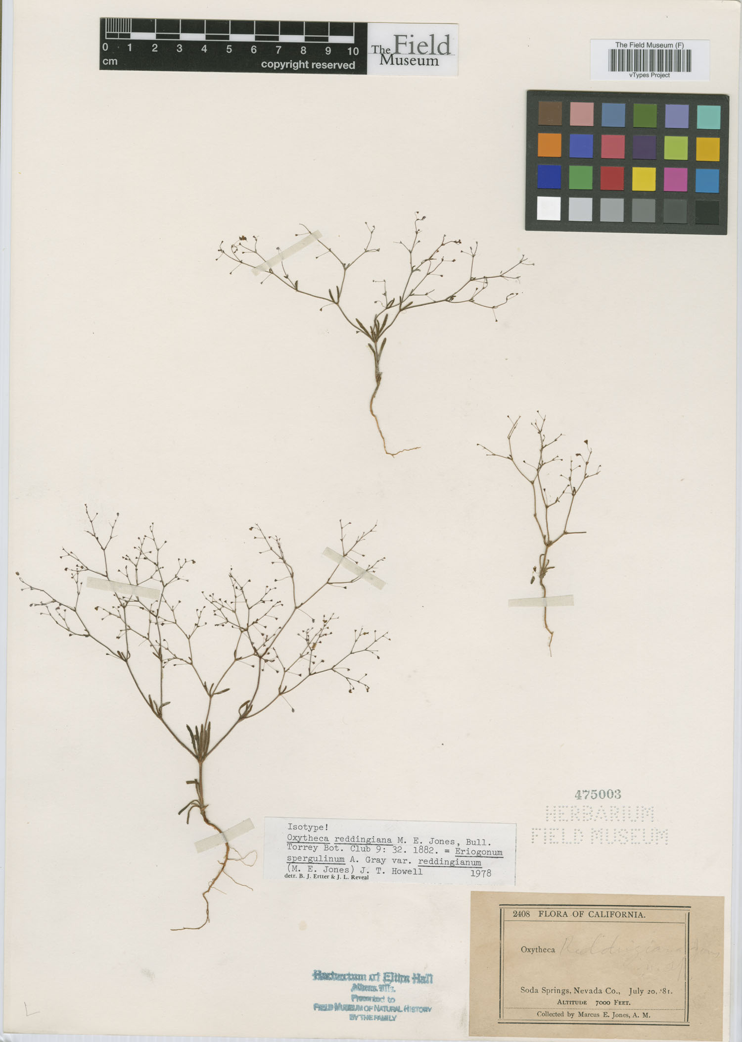Eriogonum spergulinum var. reddingianum image