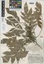 Roupala steyermarkii Sleumer, GUATEMALA, J. A. Steyermark 33447, Holotype, F